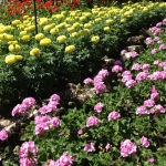 summer annuals for mid south