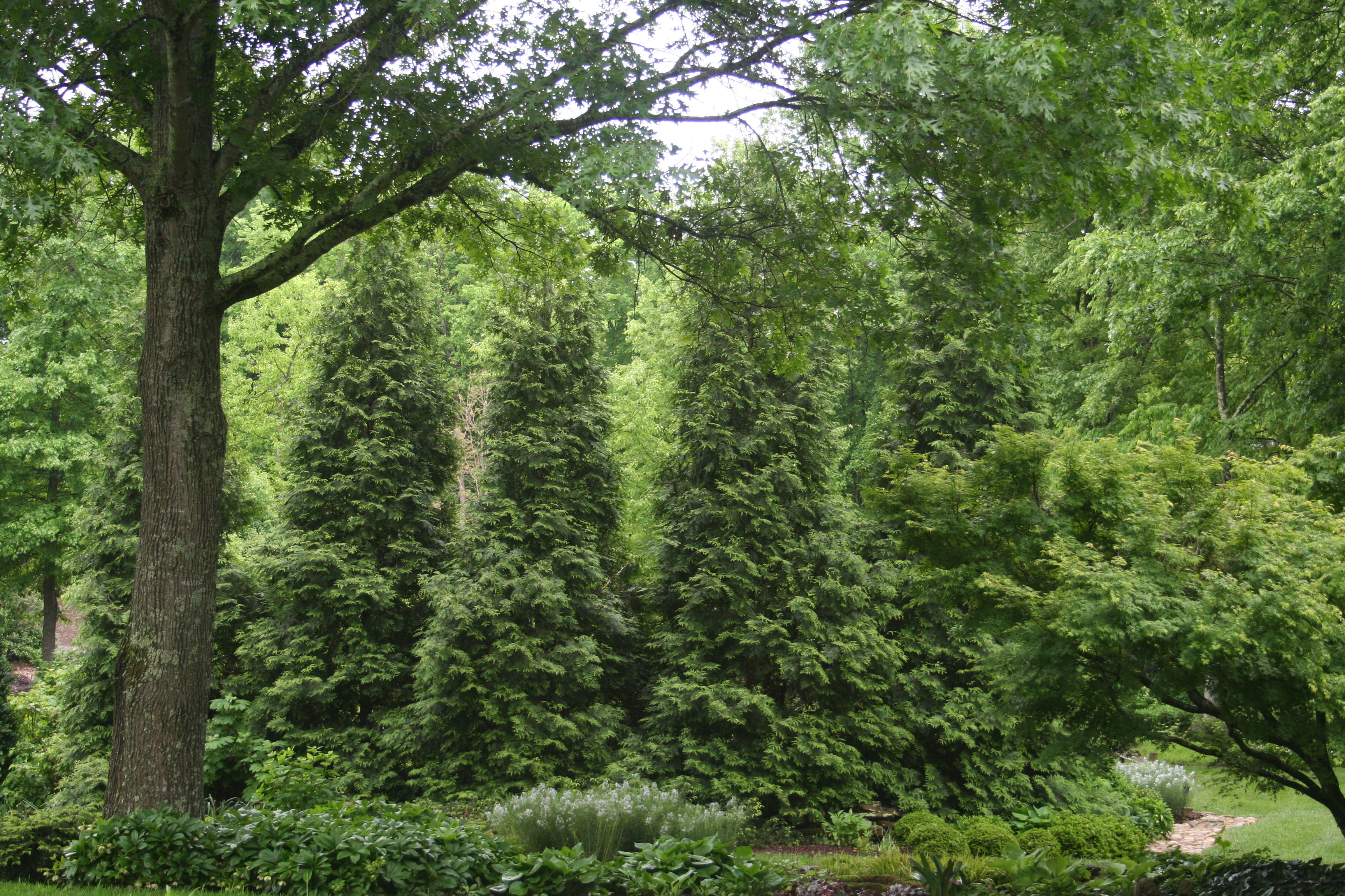 Thuja green giant for your tennessee gardens acer for Green giant arborvitae