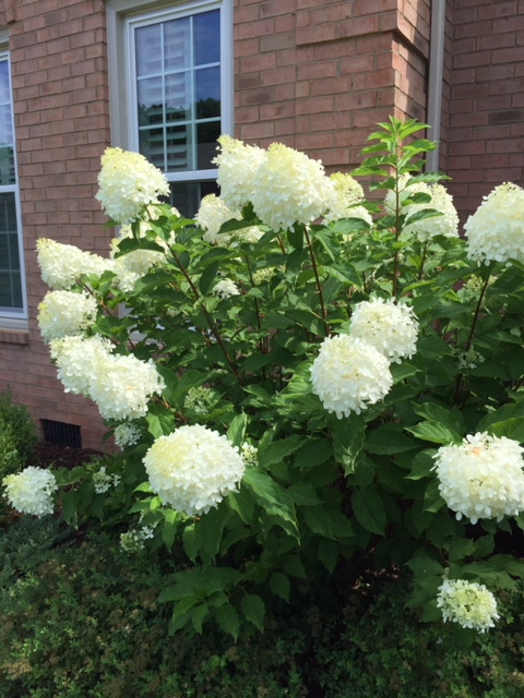7 reasons to plant 39 limelight 39 hydrangeas in nashville for Garden design nashville tn