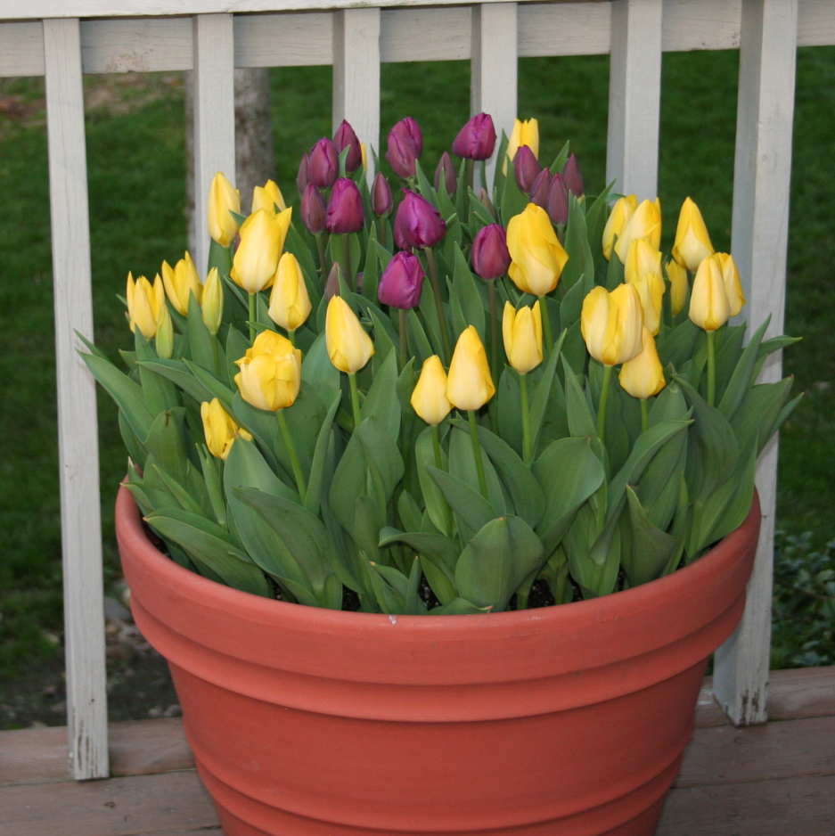 Tips For Planting Tulips In Tennessee
